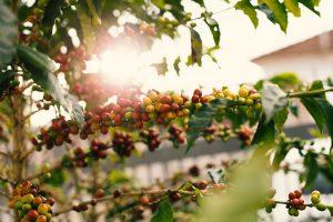 Granos de café de Guatemala